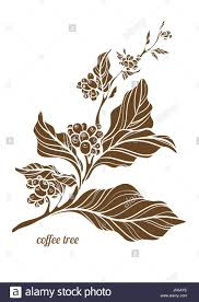 Branch Of Coffee Tree With Leaves Flowers And Natural Beans Botanical Contour Drawing Vector Illustration Isolated On White Background Eps1