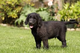 Chesapeake Bay Retriever Molting by Flat Coated Retriever Dog Breed Information Pictures