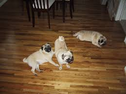 Dog Urine Wood Floors Vinegar by Dog Urine Odor Remover Clean Dog Urine Pet Urine In Carpet