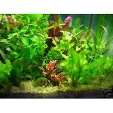 lot de 30 touffes de plantes aquatique pour aquarium