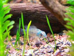 large aquarium rocks for sale adding rocks and wood to your freshwater aquarium ratemyfishtank