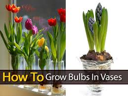 how to grow bulbs in vases grow bulbs crocus bulbs and vases