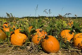 Faulkner Pumpkin Patch by Visiting Pumpkin Patches In Kansas City