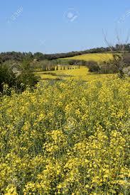 100 Ampurdan Canola Fields In The Near Monells Girona Province
