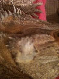Bearded Dragon Shedding In Patches by Strange Skin Patches U2022 Bearded Dragon Org