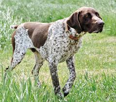 German Wirehaired Pointer Shedding by Anyone Have Experience Raising A German Shorthaired Pointer