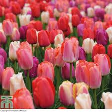tulip bulbs thompson