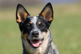 Small Non Shedding Dogs For Seniors by The Top 10 Smartest Dog Breeds