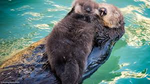 sea otter gives birth to pup in front of visitors to monterey bay
