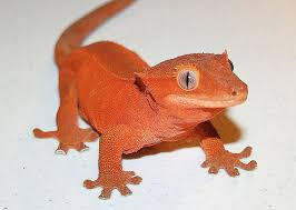 Crested Gecko Shedding Help by Crested Gecko Care And Information