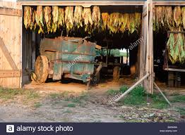 Tobacco Crop Hangs To Dry Inside White Barn On Amish Farm In Stock ... Amish Buggy Parked In A Barn Lancaster County Pennsylvania Usa Beautiful Red Barns Pa As Shown Stories Barn Stock Photos Images Alamy Reclaimed Wood Fniture Handmade Pa The Choo Model Train Magic See Mom Click Two Long With Metal Silos At Close Up Funny Sleepy Tabby Kitten Sleeping On Bench 123 Best Custom Kitchens Wood Images Pinterest 30 Flooring New Hardwoods