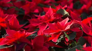 schöne zimmerpflanze saison für weihnachtssterne ist