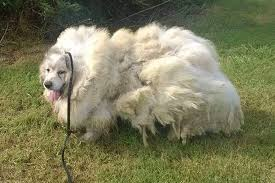 Do All Dogs Shed Their Fur by Dog Sheds 35 Lbs Of Matted Fur