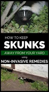 How To Keep Skunks Away From Your Property Using Non-Invasive ... How To Get Rid Of Skunks From Under A Shed Youtube Rabbits Identify And Rid Garden Pest Of And Prevent Infestation With Professional Skunk In Backyard Outdoor Goods To Your Yard Quick Ideas Image Beasts Diggings Droppings Moles Telegraph Mole Removal Skunk Control Treatments Repellent For The Home Yard Garden Odor What Really Works Pics On Extraordinary Affordable Wildlife Control Toronto Raccoon Squirrel Awesome A Wliinc