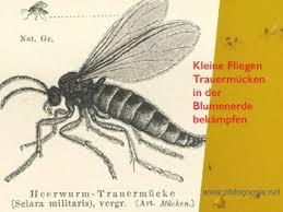 kleine fliegen in der blumenerde bekämpfen trauermücken