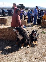 Pumpkin Patch Farm Half Moon Bay by The Berner Life A Gathering Of Berners