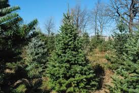 Nordmann Fir Christmas Tree Nj by Christmas Trees For Connoisseurs Morning Ag Clips