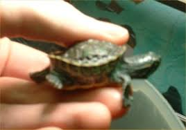 robyn s turtle health page