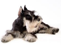 Non Shedding Small Dog Breeds List by Top 10 Dog Breeds With Little To No Shedding