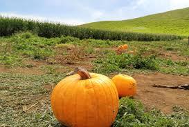 Kent Farms Pumpkin Patch by Harvesting Happiness At Kohala Mountain Farm Big Island Now
