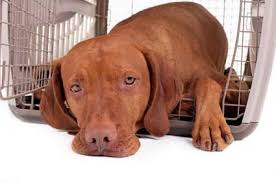 When Do Vizslas Shed Their Puppy Coat by Tips On How To Train A Vizsla Puppy