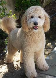 No Shed Dogs Medium by River Doodles Home Raised Goldendoodle U0026 Bernedoodle Puppies Of