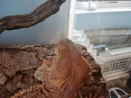 Bearded Dragon Shedding In Patches by My Dragons Losing Her Color Chameleon Forums