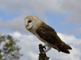 Discover Photos Of Tyto - JungleDragon Barn Owl Facts About Owls The Rspb Bto Bird Ring Demog Blog October 2014 Chouette Effraie Lechuza Bonita Sbastien Peguillou Owl Free Image Peakpx Wikipedia Barn One Wallpaper Online Galapagos Quasarex Expeditions Hungry Project Home Facebook Free Images Nature White Night Animal Wildlife Wild Hearing Phomenal Of Nocturnal Wildlife Animal Images Imaiges