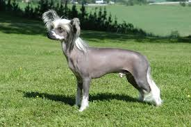 Small White Non Shedding Dog Breeds by Top 10 Non Shedding Dog Breeds