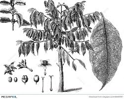 Coffee Tree Illustration 45690091