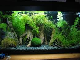 African Dwarf Frog Shedding Behavior by 10 Gallon Fish Tank Aquascape Idea With Java Moss Trees And Tire