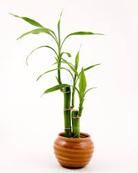 entretien des bambous en pot bambou en pot et lucky bambou entretien et symbolique