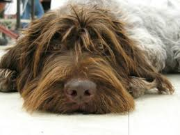 Griffon German Wirehaired Pointer Shedding by What Is Wrong With People Page 3 Poodle Forum Standard