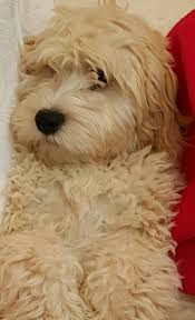 Do Cockapoo Mixes Shed by 88 Best Cockapoos Images On Pinterest Cockapoo Puppies Puppy