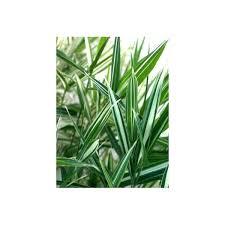 bambou nain pleioblastus fortunei variegata le châtel des vivaces