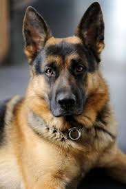 Dogs That Shed The Least by 1193 Best German Shepherd Images On Pinterest German Shepherd
