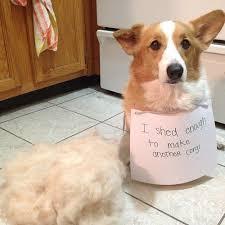 Do All Dogs Shed Fur by Corgi Shedding Corgi Guide