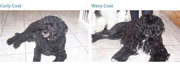 Portuguese Water Dog Non Shedding by Keeva Bay Portuguese Water Dogs