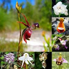 20pcs flying duck orchid flower seeds caleana major plant home