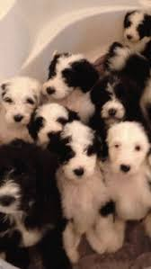 non shedding hypoallergenic hybrid dogs 14 best sheepadoodle s images on doodles and