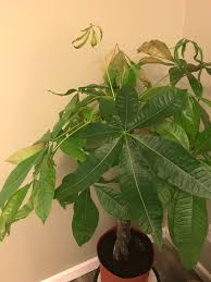 Grow Lamps For House Plants by Pistils Rx 5 Reasons Your Houseplant U0027s Leaves Are Turning Brown