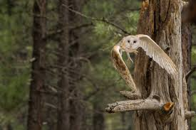 File:Barn Owl Flying In Oregon.jpg - Wikimedia Commons Barn Owl Perching On A Tree Stump Facing Forward Stock Photo The Owls Of Australia Australian Geographic Audubon Field Guide Beautiful Perched 275234486 Barred Owl Vs Barn Hollybeth Organics Luxury Skin Care Why You Want Buddies Coast News Group Sleeping By Day Picture And Sitting Venezuela 77669470 Shutterstock Rescue Building Awareness Providing Escapes And Photography Owls Owlets At Charlecote Park Barnaby The Ohio Wildlife Center