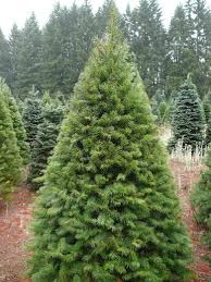 Nordmann Fir Christmas Tree by Trees Jakins Christmas Trees