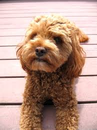 Do Cockapoo Mixes Shed by Cockapoo His Name Is Aslan Dogs And Nature Pinterest