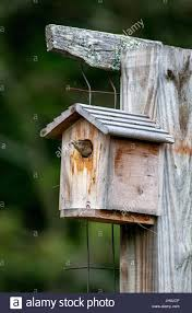 A Female House Wren, Troglodytes Aedon, Pokes Its Head Out Of A ... Backyard Birdhouse Youtube Free Images Insect Backyard Garden Inverbrate Woodland Amazoncom Boys Woodworking Bbw81 Cardinal Nest Box Bird House Decorative Little Wren Haing Yard Envy Table Lawn Home Green Lighting Wooden Modern Take On A Stuff We Love Pinterest Shop Glory 8125in W X 85in H 8in D White Discovery Channel Birdhouse Wooden Nesting Baby Birds In My Bird House How To Make Spring Diy Craft For Kids Couponscom