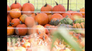 Pumpkin Patch 2920 Spring Tx by Tomball Corn Maze Youtube