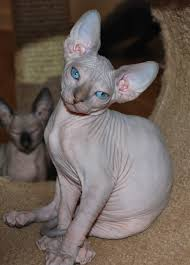 hairless cat price nocoatkitty sphynx reviews
