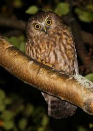 The Onomatopoeically Named Morepork Or Ruru Is New Zealands Only Native Owl It Has A Nature AnimalsWildlife