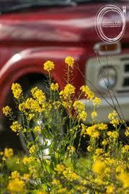 Dads Old Red Truck MustardBay AreaFlowersAutomotive