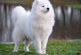 Small White Non Shedding Dog Breeds by The 20 Best Cold Weather Dog Breeds Snowbrains